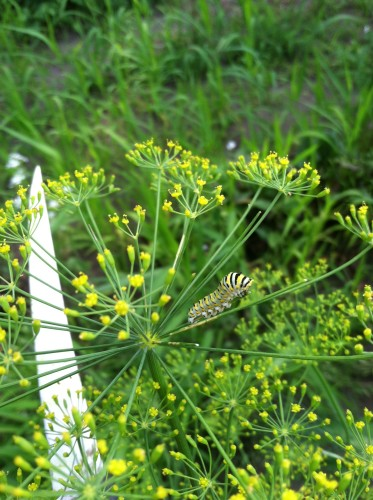 Guldan Family Farm caterpillar