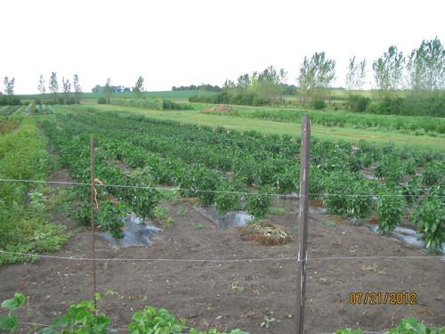 Musser Produce field