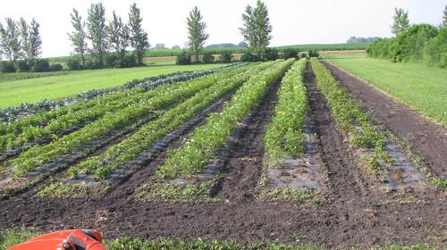 Musser Produce field2