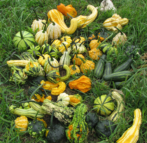 Musser Produce gourds